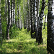 Pretty birch tree alley on a summer day — Stock Photo #11547788