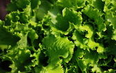 Lettuce background — Stock Photo
