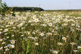 A lot of daisies — Стоковое фото