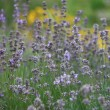 Flowering lavender — Stock Photo