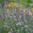 Flowering lavender - Stock Photo