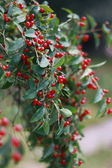 The branch with red berries — Stock Photo