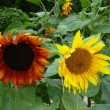 Brown and yellow sunflowers — Stok fotoğraf