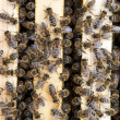 Royalty-Free Stock Photo: Close-up of bees living in a beehive
