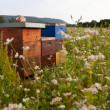 Beehives in a buckwheat field - Stock Photo