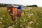 Bijenkorven in een veld boekweit — Stockfoto