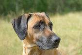 Red dog- rhodesian ridgeback — Stock Photo