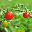 Stock Photo: Cherry tomatoes.