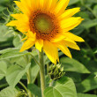 Sunflower — Foto Stock #11614821