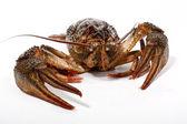 River crayfish — Stock Photo