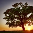 Big Green Tree and sunset — Foto de Stock