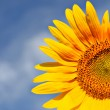 Part of beautiful sunflowers with blue sky — Foto de Stock