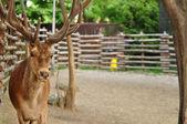 White Tail Deer Buck — Stock Photo