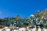 Aloe Plants growing Wild. — Stock Photo