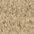 Field of grain - Stock Photo