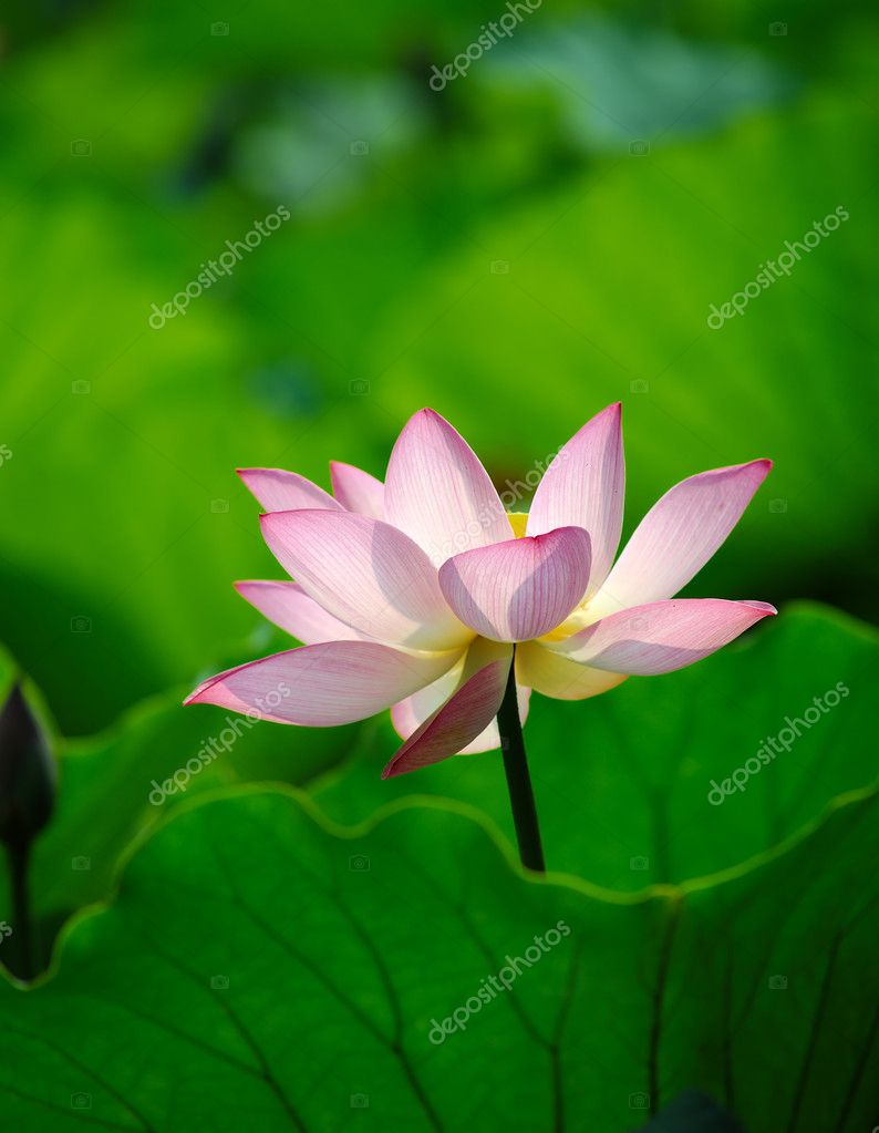 Lotus flower  Stock Photo #11662749