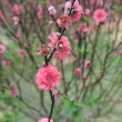 Peach blossom flower — Stock Photo