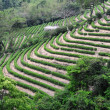 Green tea garden hill - Stock Photo