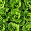 Lettuce growing in the soil — Stock Photo #11756409