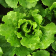Lettuce growing in the soil — Stock Photo #11758361