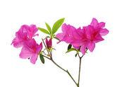 Hermosa flor rosa orquídea — Foto de Stock