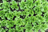 Lettuce growing in the soil — Stock Photo