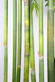 Light Golden bamboo — Stock Photo