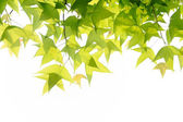Ivy leaves — Stock Photo