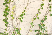 Ivy leaves — Stockfoto