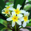 Frangipani or plumeria tropical flower — Stock Photo