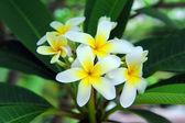 Frangipani or plumeria tropical flower — Stock Photo