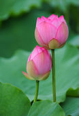 Blooming lotus flower over dark background — Stock Photo