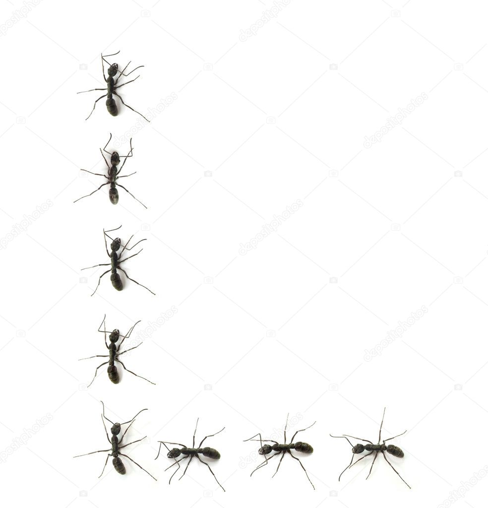 Black Ants in a Line a Line of Worker Ants Marching