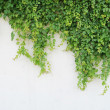 Ivy leaves isolated on a white background — Stock Photo #11873705