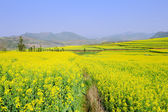 Rapeseed field in the springtime — Stock Photo
