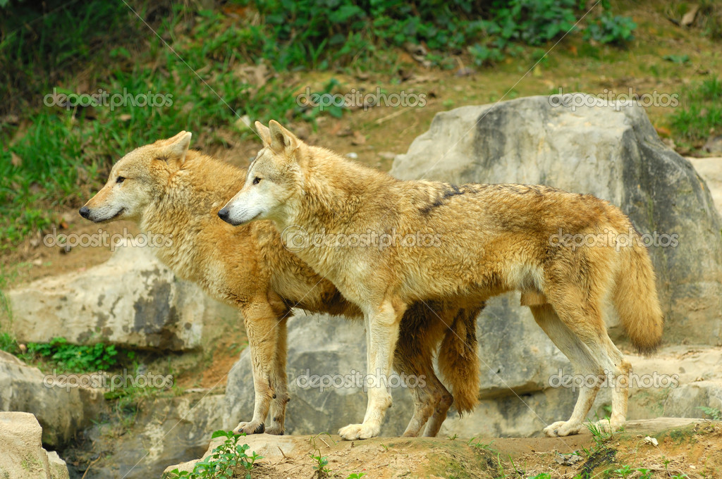 Two Wolves in the Wild — Stockfoto #11882690