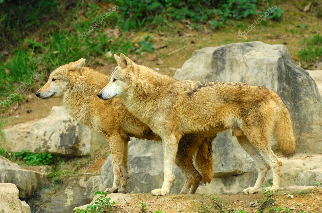 Two Wolves in the Wild — Zdjęcie stockowe #11882690