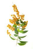 Bunch of yellow rowan — Stock Photo