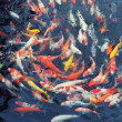 Royalty-Free Stock Photo: Red and gold fishes