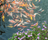 Red and gold fishes — Stock Photo
