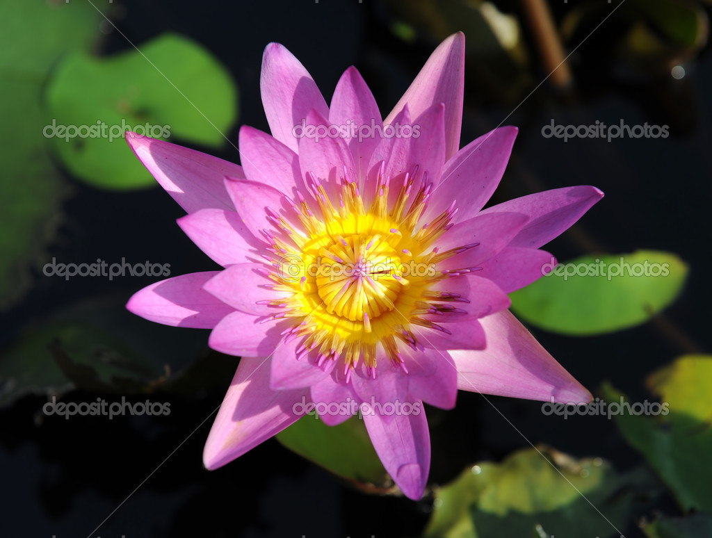 Lotus flower — Stock Photo #11912096
