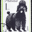 Postage stamp Poland 1963 Poodle, Dog — Stock Photo #11577446