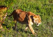 Лев — Стоковое фото