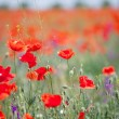 Poppy — Stock Photo #10976307