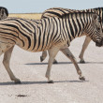 Zebra — Stok fotoğraf #11214274