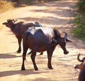Buffalo on Sri Lanka — Stock Photo