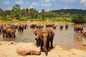 Elephant on Sri Lanka — Stock Photo