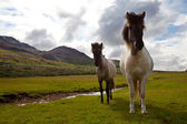 Horse in Iceland — Stock Photo
