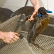 Cleaning an oil bird - Stock Photo