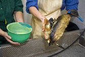 Cleaning an oil bird — Stock Photo